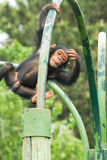 Young chimpanzee. Climbing young monkey in a zoo Royalty Free Stock Photography