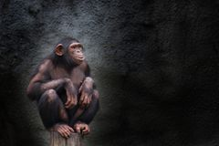 Young chimpanzee alone portrait, sitting crouching on piece of wood Stock Photography