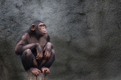 Young chimpanzee alone portrait, sitting crouching on a piece of wood Stock Photos