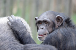 Young chimpanzee2 Stock Photography