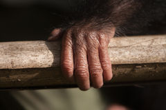 Young Chimpanzee hand Royalty Free Stock Photography
