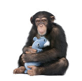 Young Chimpanzee with his teddy bear- Simia troglo Royalty Free Stock Image