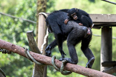 A young chimpanzee hitches a ride on its mothers back at the Singapore Zoo in Singapore. Stock Images