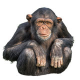 Young chimpanzee isolated on white Stock Photos