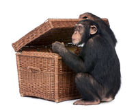 Young Chimpanzee looking into a chest Stock Image