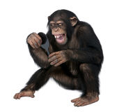 Young Chimpanzee looking at himself in a mirro - S Stock Photography
