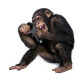 Young Chimpanzee looking at his teeth in a mirror Royalty Free Stock Images