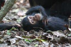 Young chimpanzee lying Stock Photo