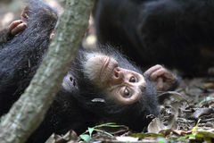 Young chimpanzee lying Royalty Free Stock Images