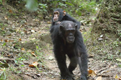 Young chimpanzee on the mother Royalty Free Stock Image