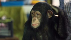 Young chimpanzee stock video