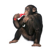 Young Chimpanzee playing with a gun (5 years old) Stock Photos