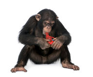 Young Chimpanzee playing with a gun (5 years old) Royalty Free Stock Photo