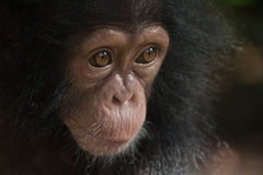 Young Chimpanzee Stock Photos