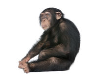 Young Chimpanzee - Simia troglodytes (5 years old). In front of a white background stock image