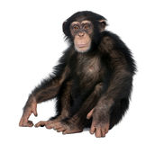 Young Chimpanzee - Simia troglodytes (5 years old). In front of a white background stock images