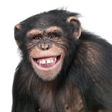 Young Chimpanzee - Simia troglodytes (6 years old) Royalty Free Stock Photo