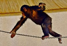 Young Chimpanzee in the zoo playing. Chimpanzee the very famous ape in Africa Guinea and New Zealand, is pictured here. Monkeys and Apes are very active animals royalty free stock photos