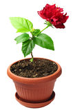 Young China Rose Royalty Free Stock Photo