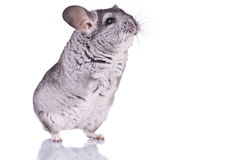 Young Chinchilla. Curious Young Chinchilla standing on its hind legs, over white Stock Photos