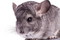 Young Chinchilla. Closeup picture of a Young Chinchilla over white background Royalty Free Stock Photography