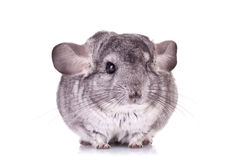 Young Chinchilla. Sitting sad on a white background Royalty Free Stock Photos