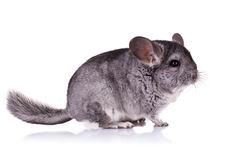 Young Chinchilla. Picture of a Young Chinchilla over white background Stock Photography