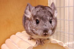 Young chinchilla. In a cage Royalty Free Stock Image