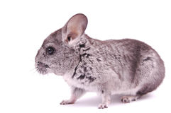 Young Chinchilla. In front of white background Royalty Free Stock Photo