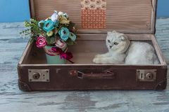 Young chinchilla breed cat inside vintage suitcase Royalty Free Stock Photography