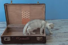 Young chinchilla breed cat inside vintage suitcase. Young chinchilla breed cat with green eyes sits inside vintage suitcase on blue background toned picture Royalty Free Stock Image