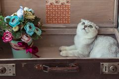 Chinchilla breed cat inside vintage suitcase Royalty Free Stock Photo
