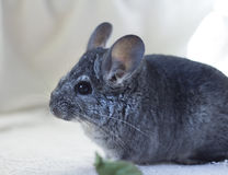 Young Chinchilla Royalty Free Stock Photos