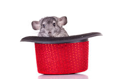 Young Chinchilla in a hat. Young Chinchilla in a red show hat over white Royalty Free Stock Photo