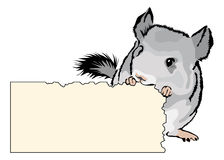 Young Chinchilla nibbling on cardboard Stock Images