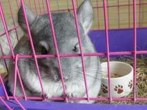 Young chinchilla sitting pink cage closeup. Cute rodent domestic chinchilla portrait closeup cage Stock Photo