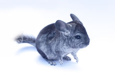 Young Chinchilla  on white. Young funny chinchilla sitting on white background Stock Images