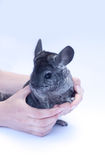 Young Chinchilla  on white. Young chinchilla sitting in hands  on white background Royalty Free Stock Images