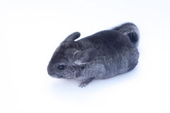 Young Chinchilla  on white. Young funny chinchilla sitting on white background Stock Photography
