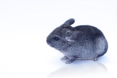Young Chinchilla  on white. Young funny chinchilla sitting on white background Royalty Free Stock Photo