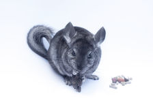 Young Chinchilla  on white. Young funny chinchilla sitting on white background Stock Photo