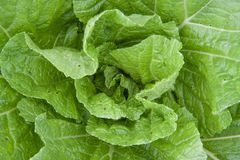 Young chinese cabbage stock photo
