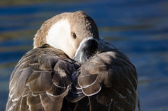 Young Chinese Goose Nestled in for a Nap Royalty Free Stock Photography