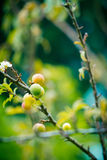 Young Chinese plum fruit and plum blossom (flower) Stock Images