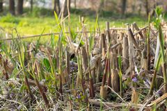 Young chinese reed stalks begin to grow out of the ground. Green sproutling and seedlings of reed growing between old cut down reed stalks Stock Photography