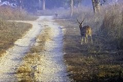 Young chital or cheetal, also known as spotted deer or axis deer male walking in the foggy morning at Jim Corbett National Park, I. Young chital or cheetal / royalty free stock photos