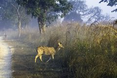 Young chital or cheetal, also known as spotted deer or axis deer male walking in the foggy morning at Jim Corbett National Park, I. Young chital or cheetal / royalty free stock images