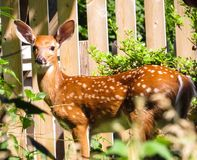 Young Spotted Deer Posing Near A Fence royalty free stock photos