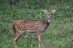 Young Chital Stag. A young Chital stag in Nagarhole National Park, Karnataka, India Stock Image