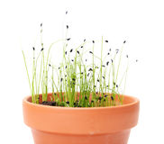Young chives Stock Image